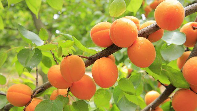 Marillenknödel enthalten Aprikosen beziehungsweise Marillen. Die Früchte weisen den höchsten Provitamin-A-Gehalt aller Obstsorten auf.