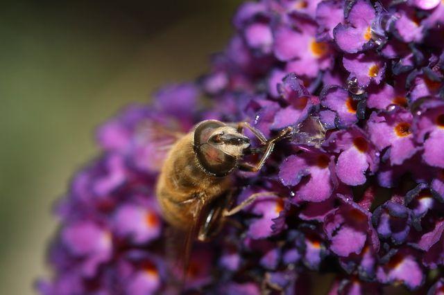 Bienen mögen Fliederblüten - es lohnt sich also welchen anzupflanzen.
