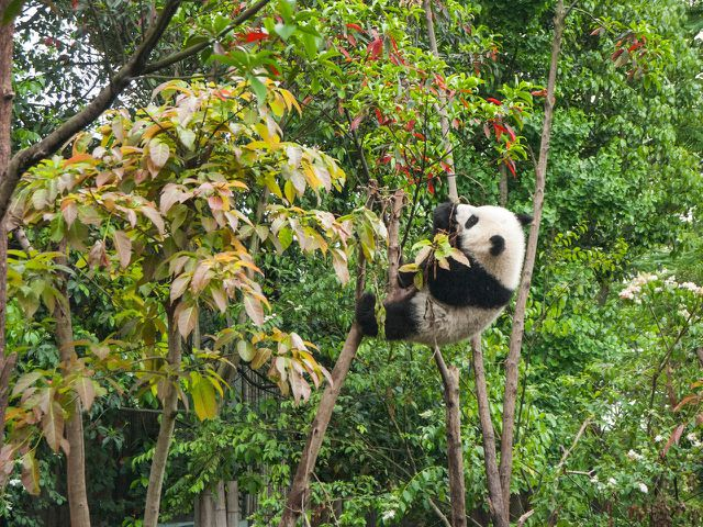 Der Lebensraum der Pandas könnte auch von der Neuen Seidenstraße bedroht sein.
