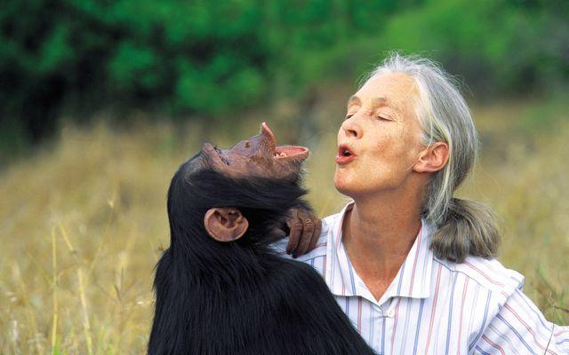 Jane Goodall, Schimpansen
