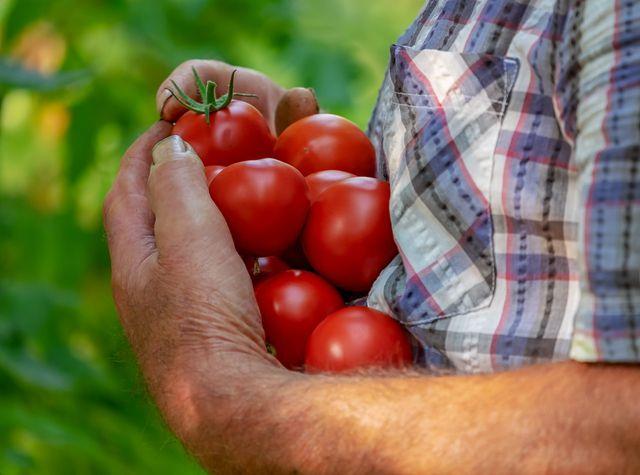 Nicht nur Tomaten profitieren von der Brennnesseljauche.