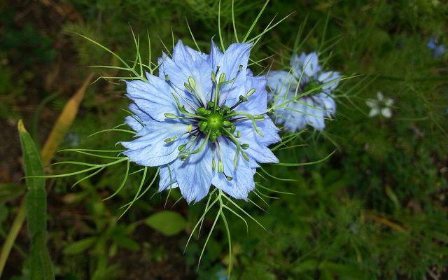 black cumin seed oil nigella sativa flower