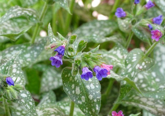 Lungenkraut mit Blüte: Diese Pflanze ist ein Bodendecker.