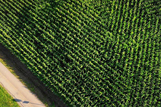 Die meisten GVO werden in Monokulturen angebaut