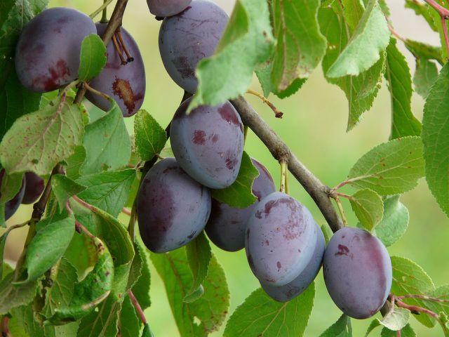 Zwetschgenmarmelade schmeckt mit vollreifen Früchten am besten.