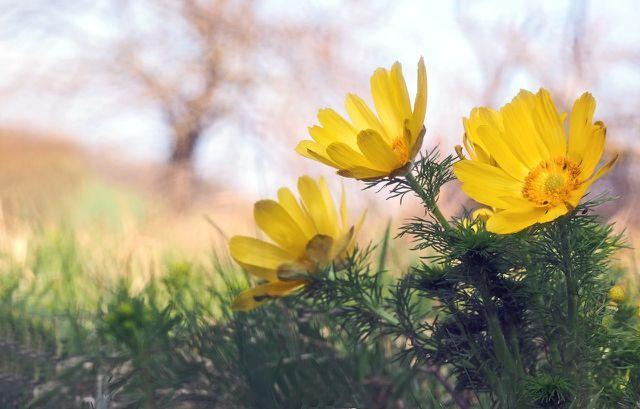 Trotz ihrer zarten und kleinen Blüten sind Adonisröschen sehr robuste und pflegeleichte Blumen.