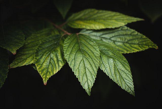 Über ihre Blätter nehmen Bäume CO2 und Wasser auf.