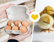 Eier ohne Kükenschreddern