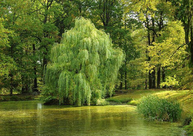 Zu den schnellwachsenden Bäumen in Deutschland gehören auch die heimischen Weidearten.