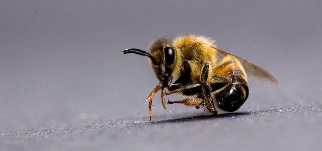Sowohl Parasiten als auch die industrielle Landwirtschaft tragen zum Bienensterben bei.