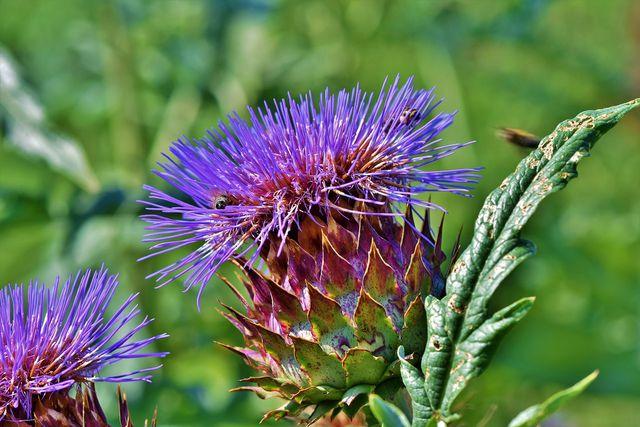 Beim Artischocken pflanzen musst du auch darauf achten, dass du den Pflanzen im Winter ausreichend Winterschutz gibst.
