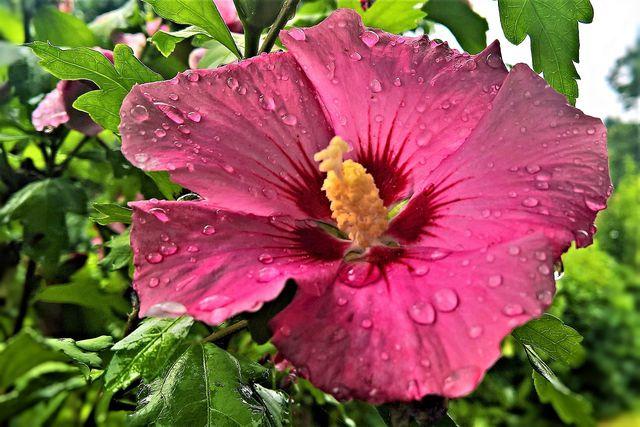 Der Garten-Eibisch ist robust, winterhart und braucht kaum Winterschutz.