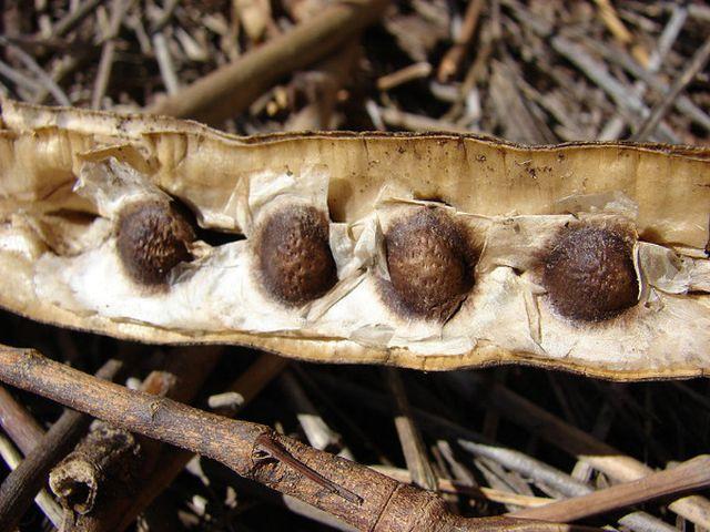Wunderbaum - Moringa-Samen