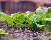 growing and harvesting spinach