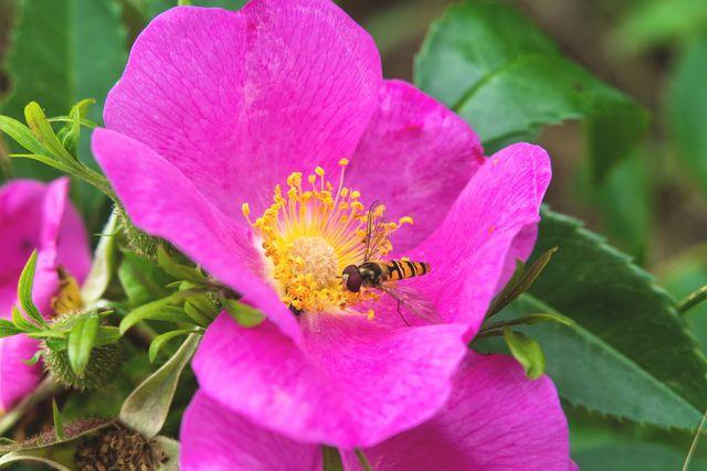 Die Zimtrose bietet Nahrung für viele Arten von Insekten.