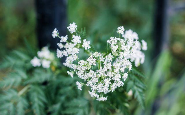 Die Hundspetersilie ist eine zweijährige Pflanze.