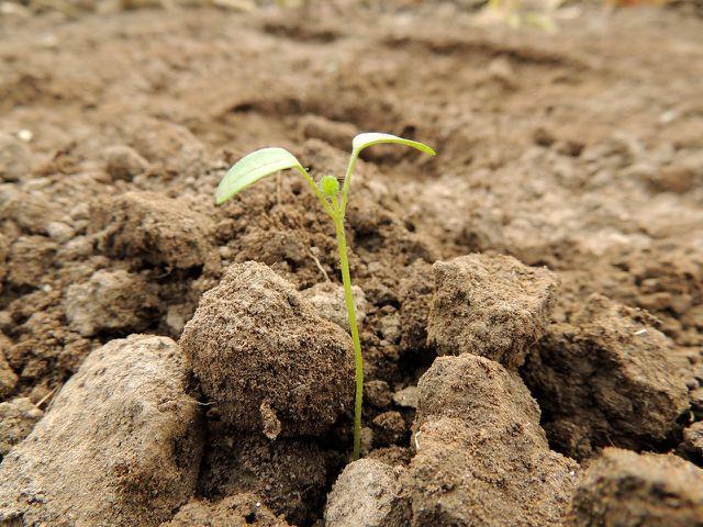 Nach dem Stratifizieren kannst du die keimenden Samen ins Beet pflanzen.