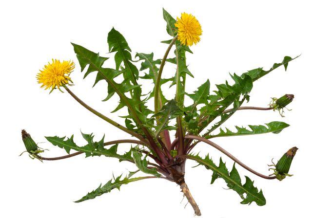 Löwenzahntee wird aus  den Blättern und Wurzeln gemacht.