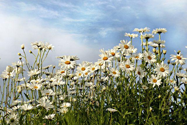Margeriten überwintern So Kommen Die Blumen über Den Winter