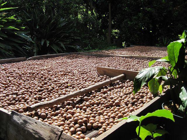 Zwischen den Anbaugebieten der Macadamia-Nuss und Deutschland liegen weite Wege.