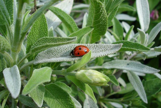 Salbei - Aromatisches Gewürz und Heilpflanze