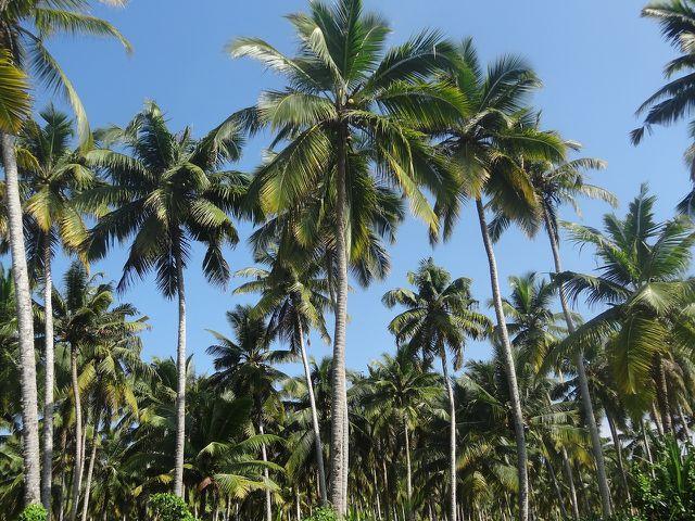 Kokosplantagen gefährden den Regenwald.