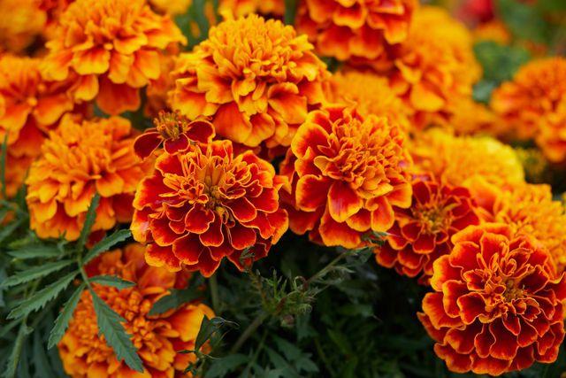 Studentenblumen blühen zum Beispiel in kräftigem Orange oder Rotbraun.