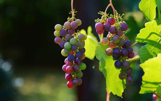 Biowein: 95% der Trauben müssen aus ökologischer Landwirtschaft kommen