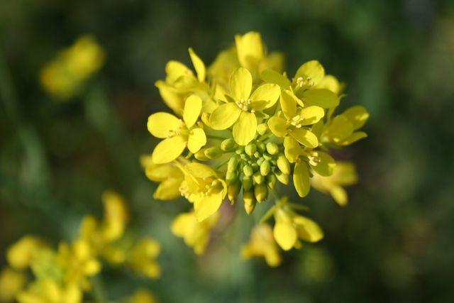 Die Blüten der Senf-Pflanze leuchten in Gelb.