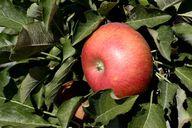Apfelbäume eignen sich gut für die Baumschicht deines Waldgartens.