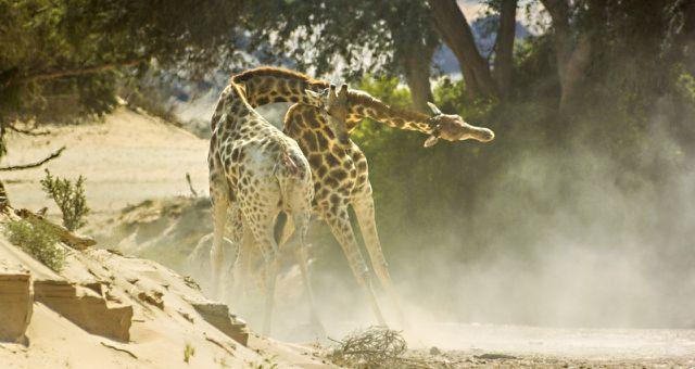 Unsere Erde 2 kämpfende Giraffen