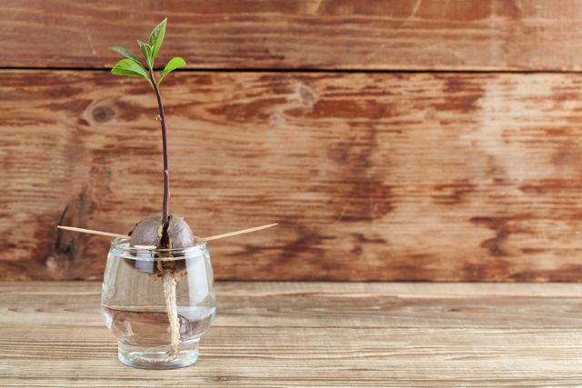 Avocado züchten, Avocadokern einpflanzen