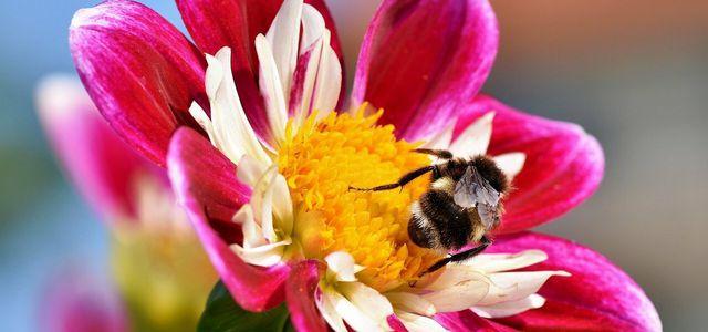 Die Zinnia bietet Nahrung für Insekten