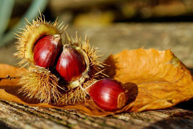 Im Herbst reifen die gesunden Maronen und fallen vom Baum