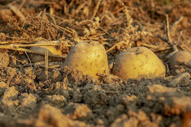 In einer gut isolierten Erdmiete kannst du Kartoffeln einlagern. Dafür muss die Temperatur allerdings über vier Grad Celsius bleiben.