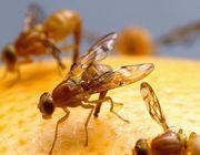 DIY fruit fly traps