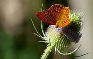 Die Wilde Karde zieht unter anderem Schmetterlinge an.