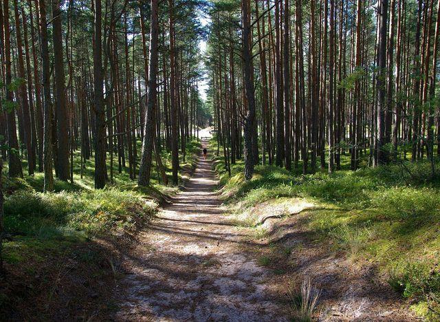 Grünlinge wachsen in sandigen Kieferwäldern.