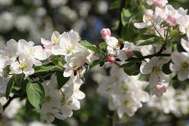 Eine weitere bienenfreundliche Pflanze ist der Apfelbaum.