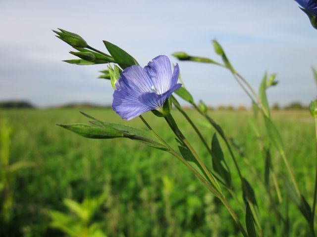 Leinöl wird aus den Samen der Leinpflanze hergestellt - den Leinsamen.