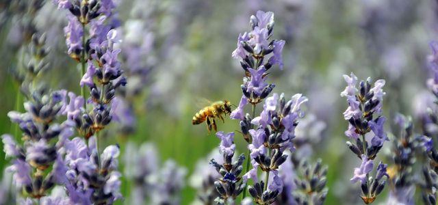 Giftige Spritzmittel fördern das Bienensterben, Wildblumen fördern Bienen.