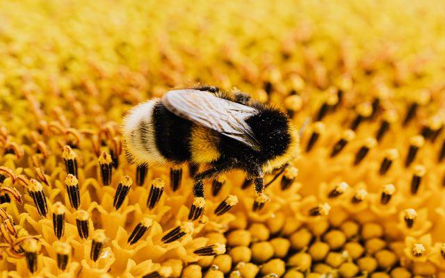 bumblebee endangered