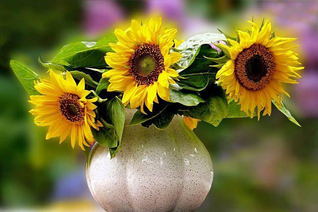 Sonnenblumen halten länger, wenn sie zuvor in heißes Wasser getaucht werden.