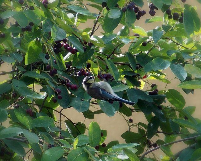 Felsenbirnen sind nicht nur gute Vogelnahrung, aus ihnen lässt sich auch Marmelade herstellen.