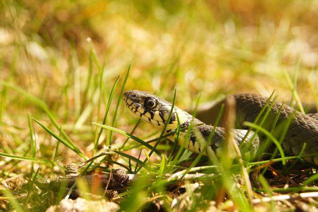 Findest du eine Schlange im Garten, machst du sie am besten zuerst mit lauten, stampfenden Schritten auf dich aufmerksam.