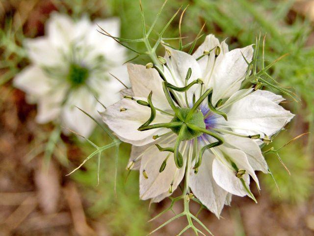 Mit der richtigen Pflege bekommt deine Jungfer im Grünen besonders schöne Blüten.