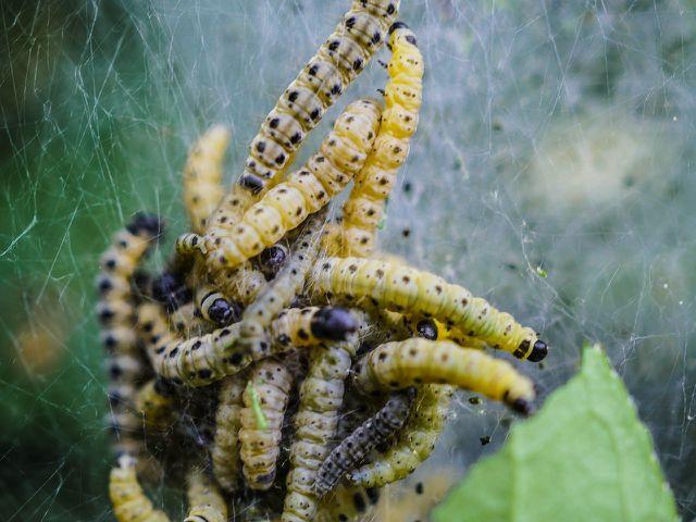 Die Raupen der Gespinstmotten ernähren sich von den Blättern und Trieben der befallenen Pflanzen.