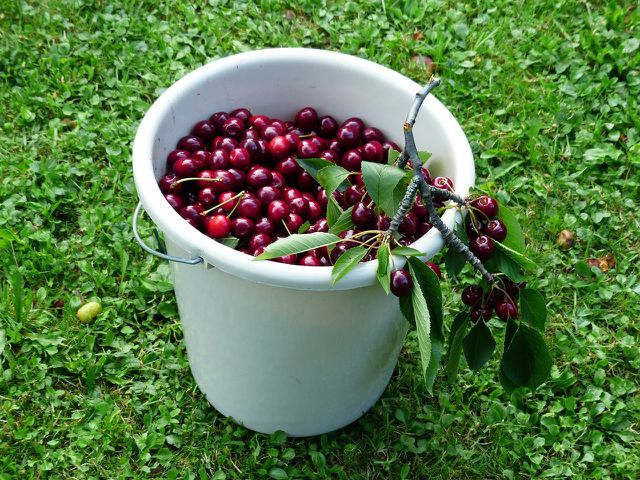 Die Früchte der Vogelkirsche schmecken sowohl frisch vom Baum als auch eingekocht in Form von Marmelade oder Gelee.