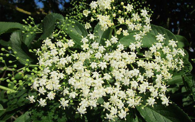 Holunderblüten kannst Du je nach Region und Standort von Mai bis Juli sammeln.