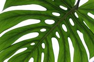 Um deine Monstera richtig zu pflegen, musst du ihre Blätter regelmäßig abstauben.